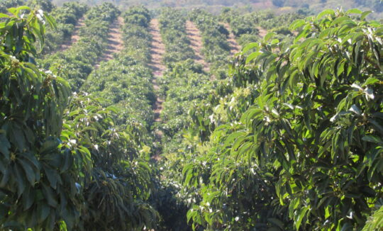 Avocado Orchards in Limpopo
